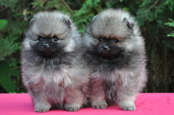 wolf sable pomeranian for sale the gallery for gt wolf sable pomeranian puppies for sale 327